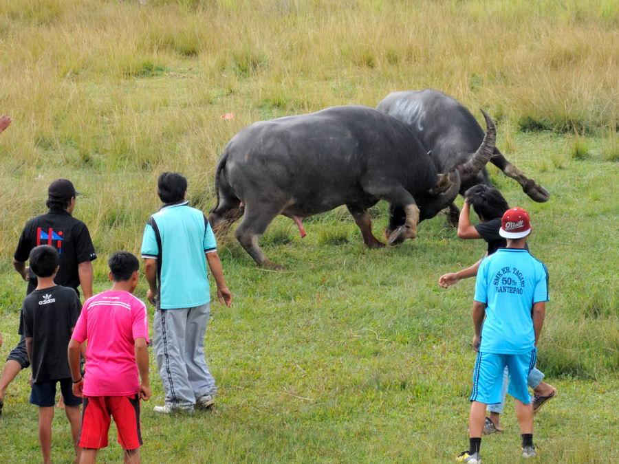 Бой быков на Сулавеси