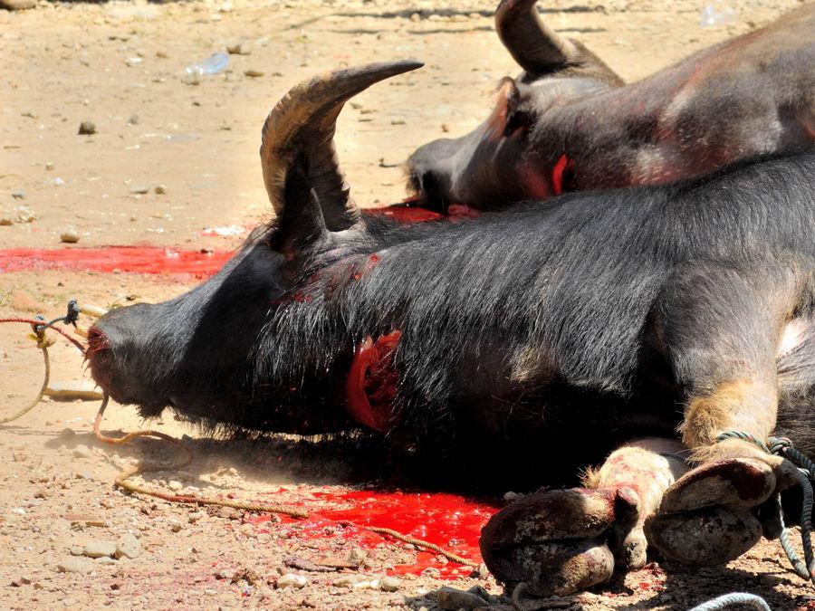 Мёртвый буйвол