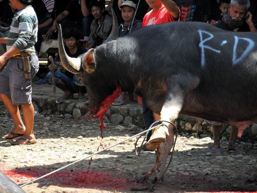 Кровь хлещет из горла быка