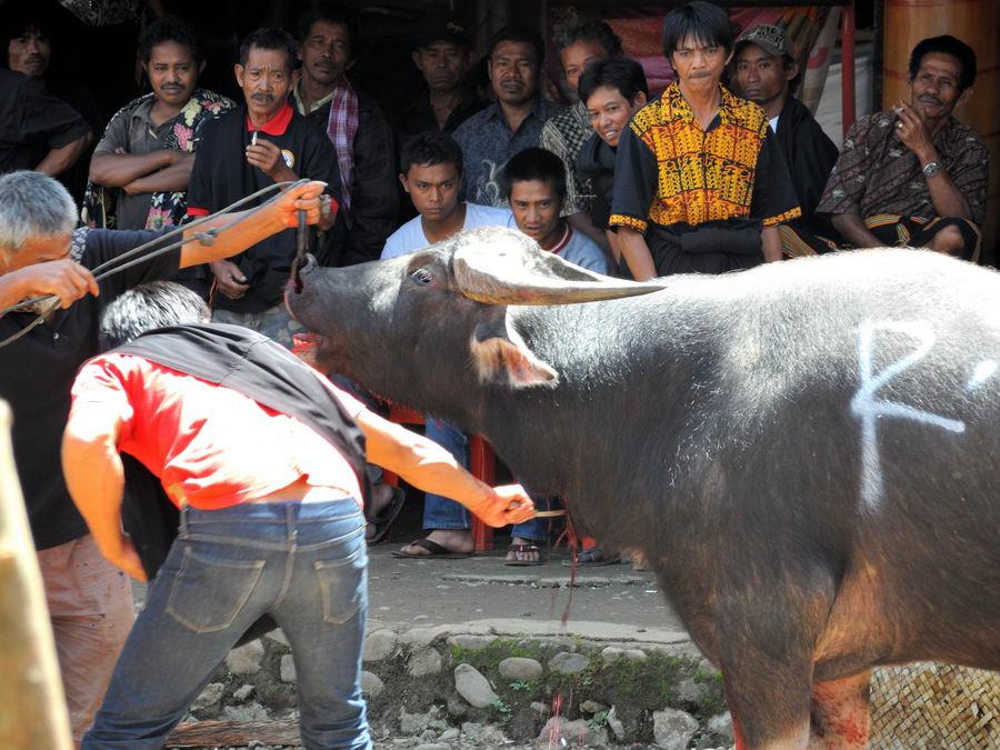 Дорезание буйвола