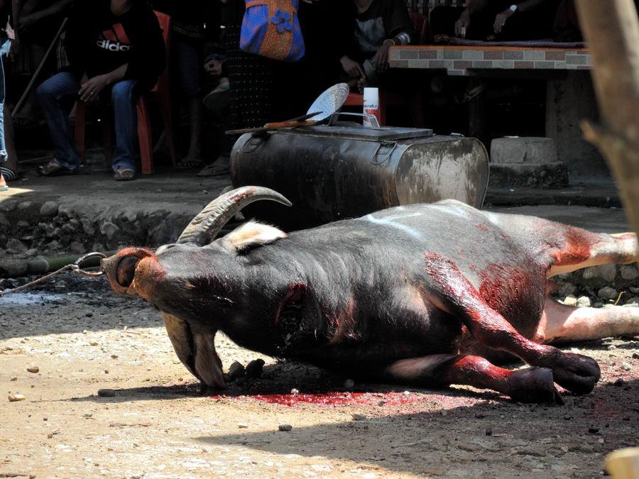 буйвол с перерезанным горлом