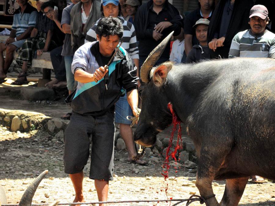 ножом по горлу буйвола