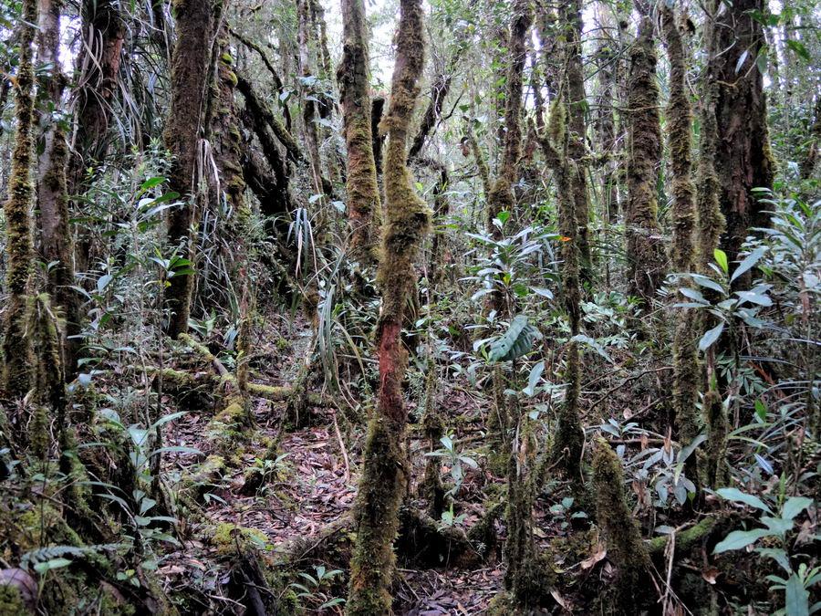 Мох на деревьях Сулавеси