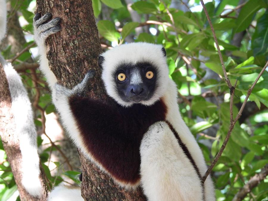 Сифака Кокореля Анкарафанцик Национальный парк Анкарафанцика на Мадагаскаре DSCN5647