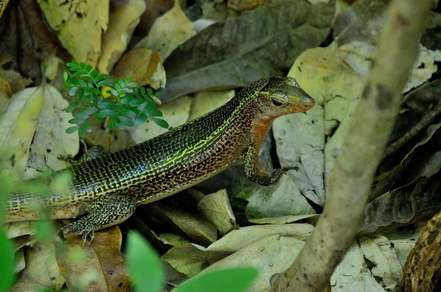 Мадагаскарский зонозавр