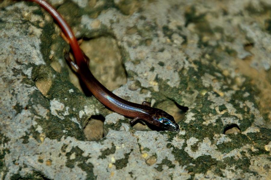 Мальгашский сцинк