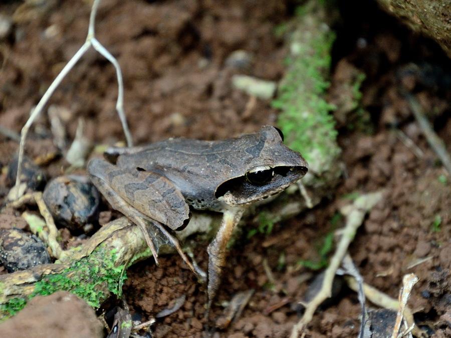 Мадагаскарская лягушка