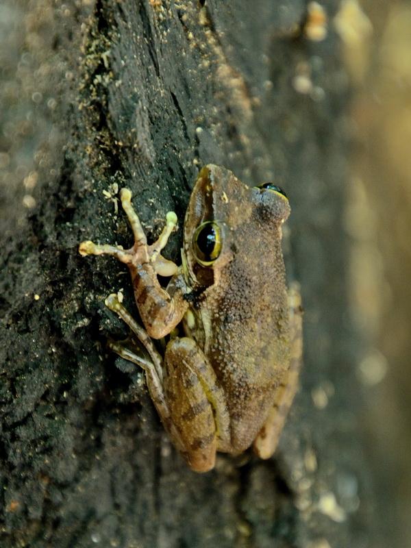 Лягушка с Мадагаскара
