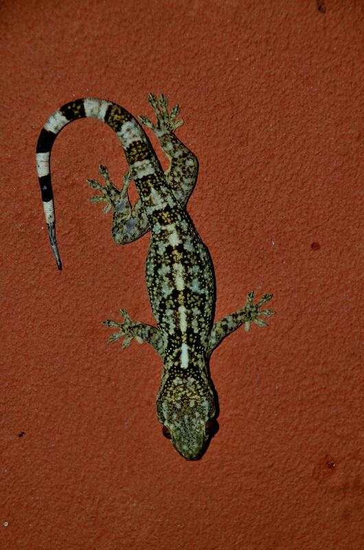 Геккон Анкарафанцик Национальный парк Анкарафанцика на Мадагаскаре DSC 3769
