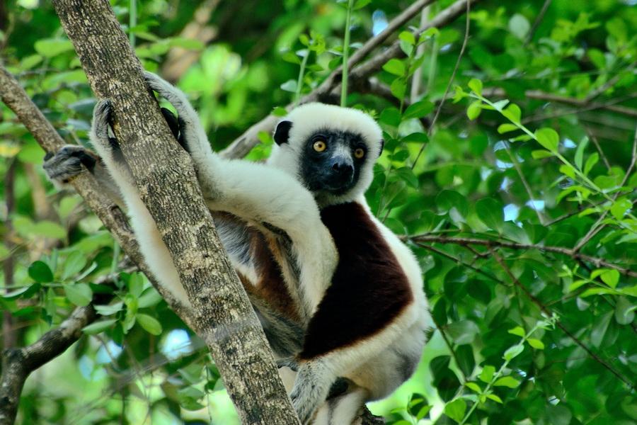 Сифака Кокореля Анкарафанцик Национальный парк Анкарафанцика на Мадагаскаре DSC 3789