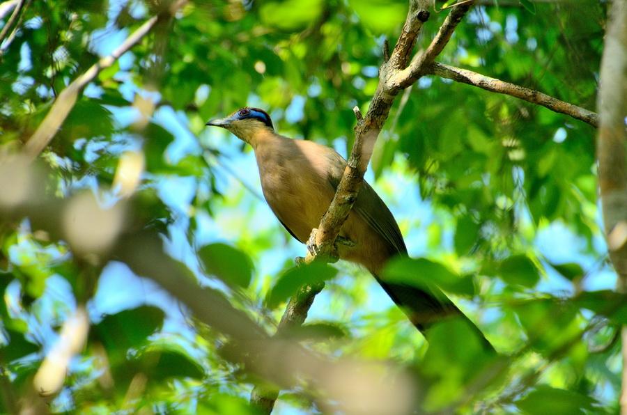Красношапочная тивука Бердвочинг в национальном парке Анкарафанцика на Мадагаскаре Бердвочинг в национальном парке Анкарафанцика на Мадагаскаре DSC 3847