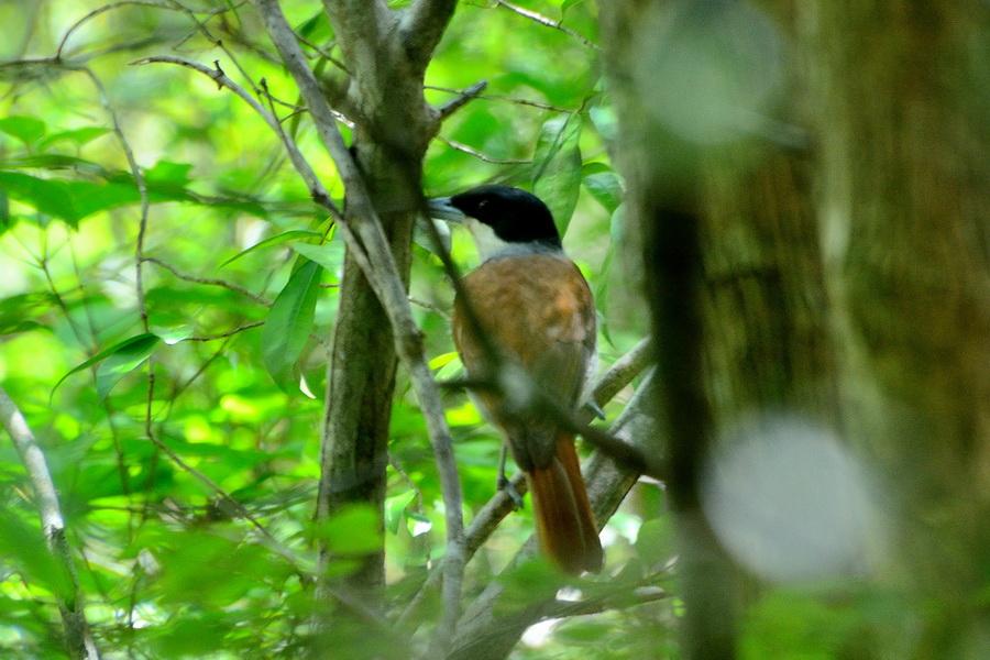 Рыжая ванга Бердвочинг в национальном парке Анкарафанцика на Мадагаскаре Бердвочинг в национальном парке Анкарафанцика на Мадагаскаре DSC 3970