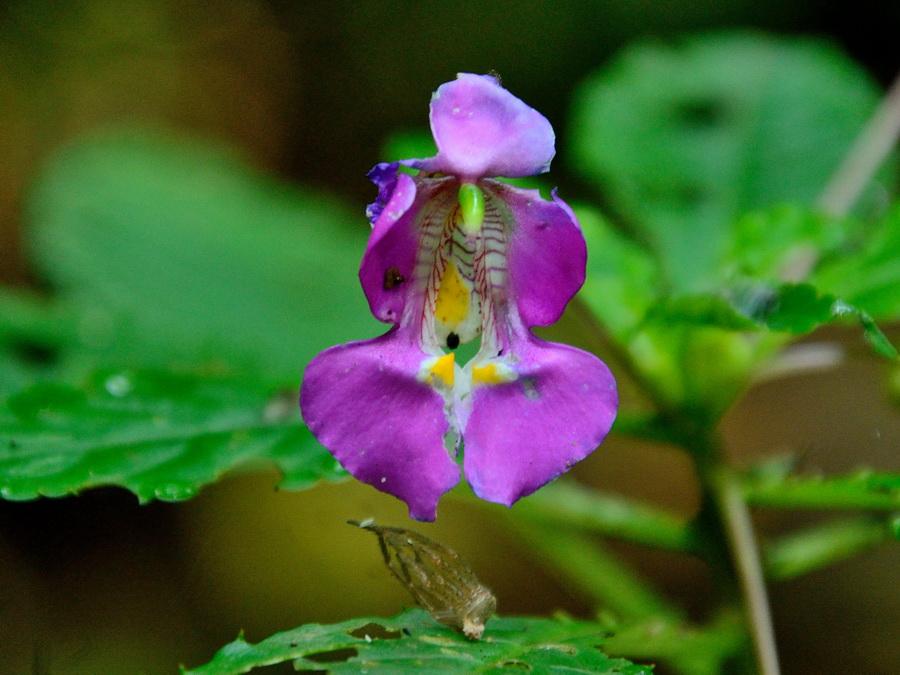 Цветы Национальный парк «Янтарная гора» (amber mountain national park) на Мадагаскаре Национальный парк «Янтарная гора» (Amber Mountain National Park) на Мадагаскаре DSC 5121