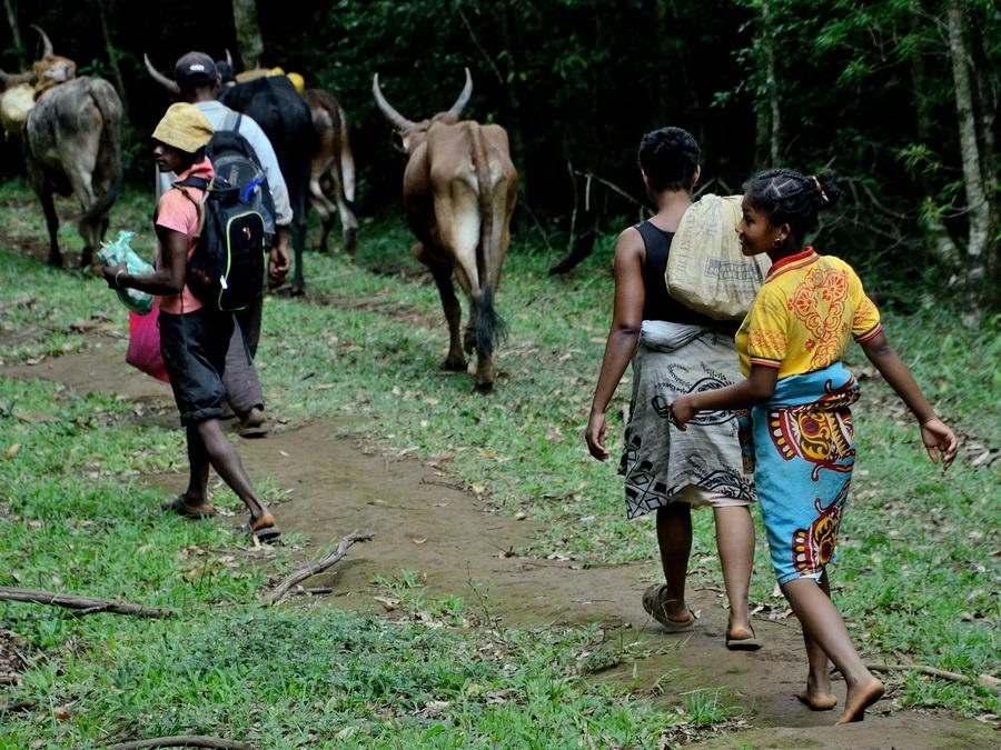 Зебу Национальный парк «Янтарная гора» (amber mountain national park) на Мадагаскаре Национальный парк «Янтарная гора» (Amber Mountain National Park) на Мадагаскаре DSC 5317