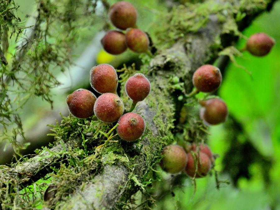 Плоды Национальный парк «Янтарная гора» (amber mountain national park) на Мадагаскаре Национальный парк «Янтарная гора» (Amber Mountain National Park) на Мадагаскаре DSC 5371