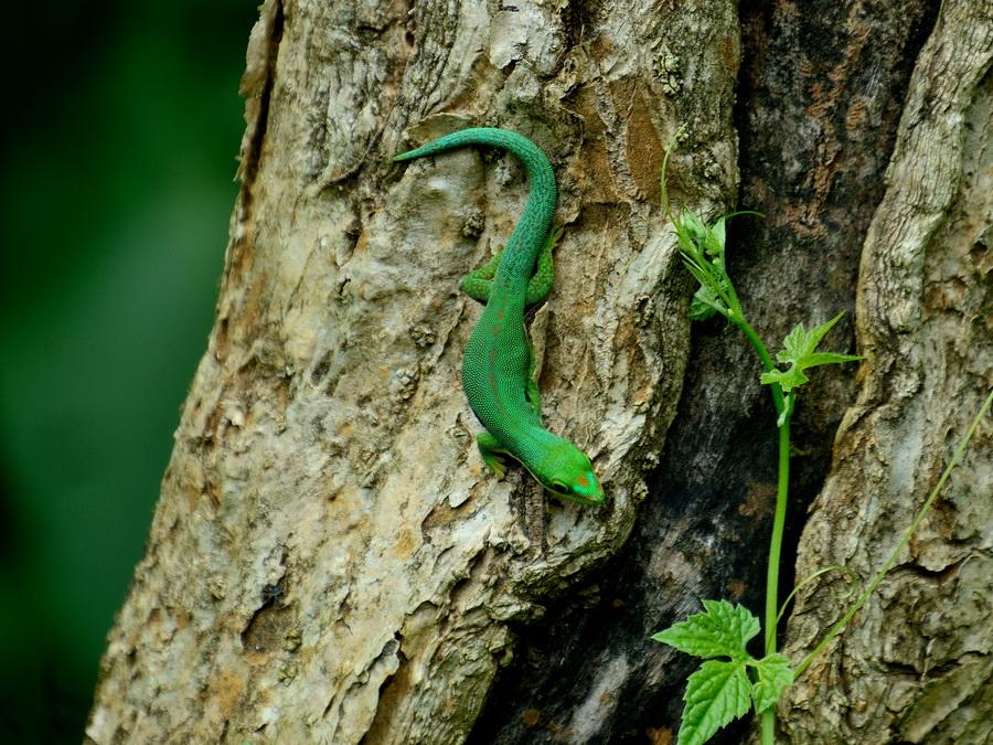 Фельзума Национальный парк «Янтарная гора» (amber mountain national park) на Мадагаскаре Национальный парк «Янтарная гора» (Amber Mountain National Park) на Мадагаскаре DSC 5378