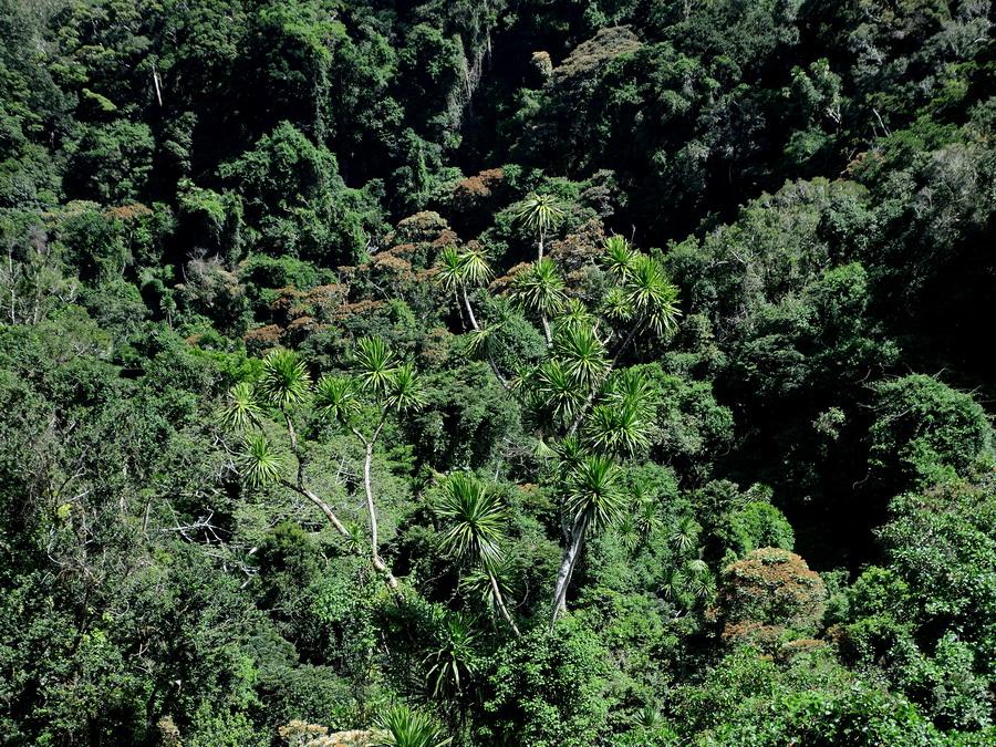 Лес Национальный парк «Янтарная гора» (amber mountain national park) на Мадагаскаре Национальный парк «Янтарная гора» (Amber Mountain National Park) на Мадагаскаре DSC 5476