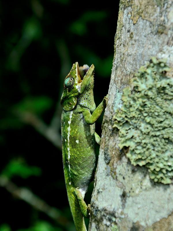 Хамелеон Национальный парк «Янтарная гора» (amber mountain national park) на Мадагаскаре Национальный парк «Янтарная гора» (Amber Mountain National Park) на Мадагаскаре DSC 5505