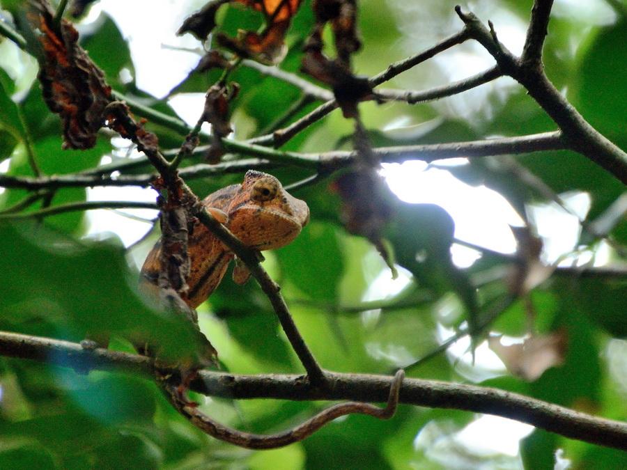 Хамелеон Национальный парк «Янтарная гора» (amber mountain national park) на Мадагаскаре Национальный парк «Янтарная гора» (Amber Mountain National Park) на Мадагаскаре DSC 5599