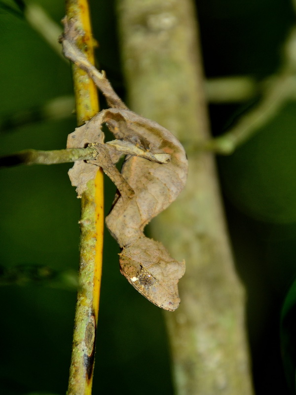Уроплятус Национальный парк «Янтарная гора» (amber mountain national park) на Мадагаскаре Национальный парк «Янтарная гора» (Amber Mountain National Park) на Мадагаскаре DSC 5687