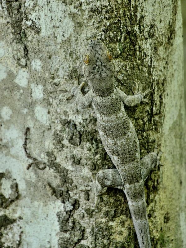 Геккон Национальный парк «Янтарная гора» (amber mountain national park) на Мадагаскаре Национальный парк «Янтарная гора» (Amber Mountain National Park) на Мадагаскаре DSC 5807