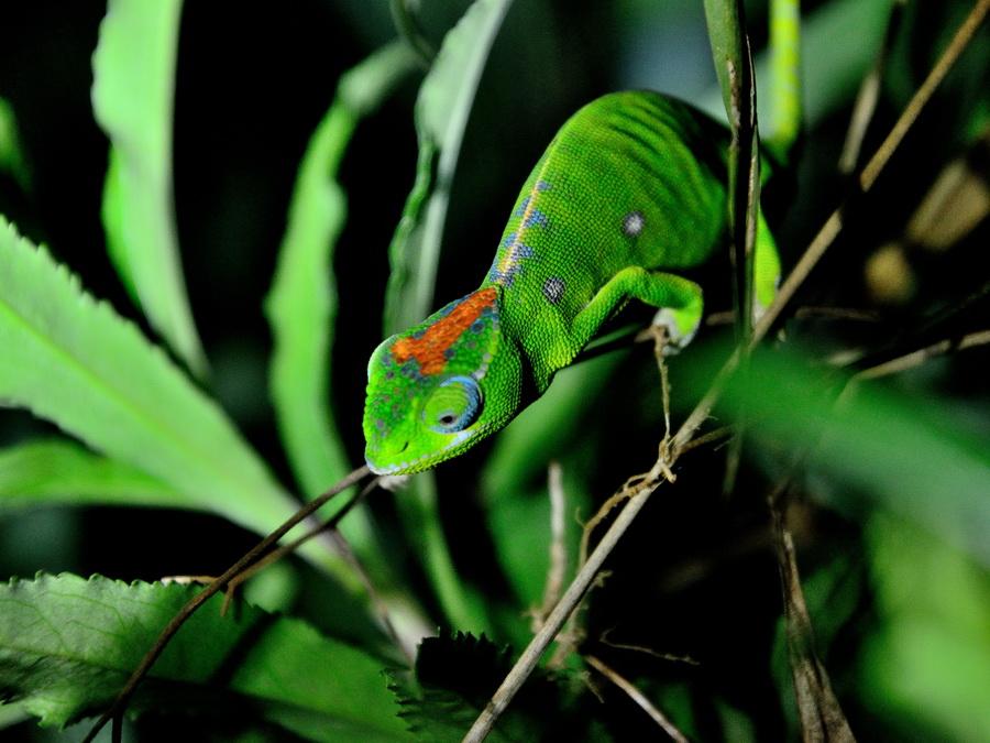 Хамелеон Национальный парк «Янтарная гора» (amber mountain national park) на Мадагаскаре Национальный парк «Янтарная гора» (Amber Mountain National Park) на Мадагаскаре DSC 5945