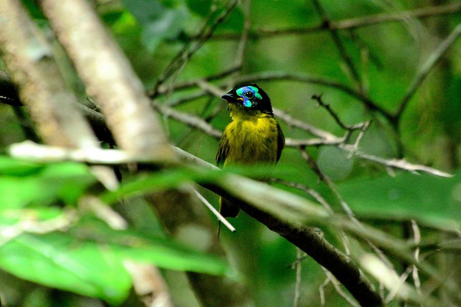 Филепитта Бердвочинг в национальном парке Анкарафанцика на Мадагаскаре Бердвочинг в национальном парке Анкарафанцика на Мадагаскаре DSC 6526