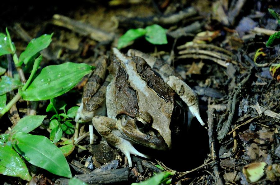 Мадагаскарская лягушка-бык Анкарафанцик Национальный парк Анкарафанцика на Мадагаскаре DSC 6595