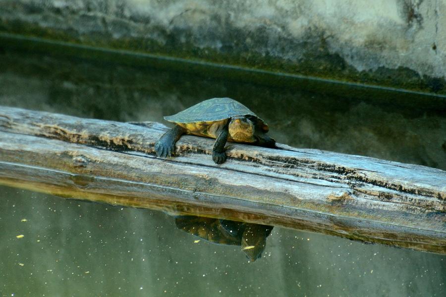 Черепаха Анкарафанцик Национальный парк Анкарафанцика на Мадагаскаре DSC 6673