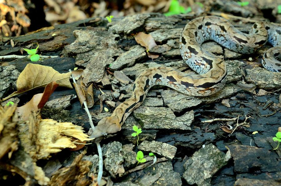 Мадагаскарский удав Анкарафанцик Национальный парк Анкарафанцика на Мадагаскаре DSC 6757