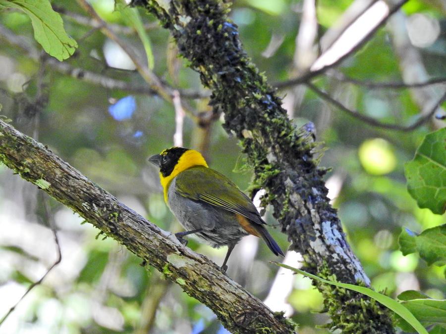 Зелёный мадагаскарский ткач amber mountain Птицы в Amber Mountain National Park на Мадагаскаре FSCN0003