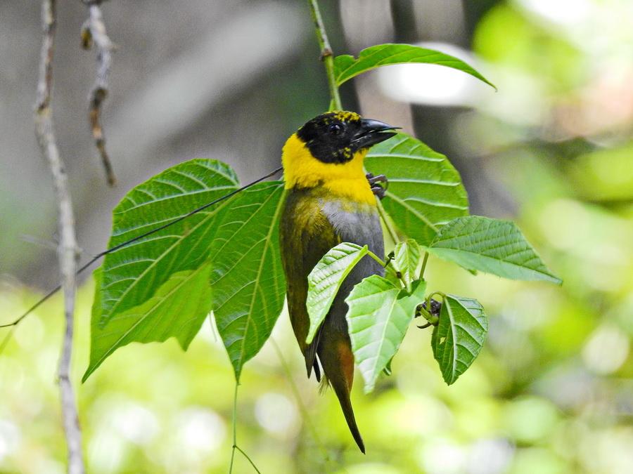 Зелёный мадагаскарский ткач amber mountain Птицы в Amber Mountain National Park на Мадагаскаре FSCN0004