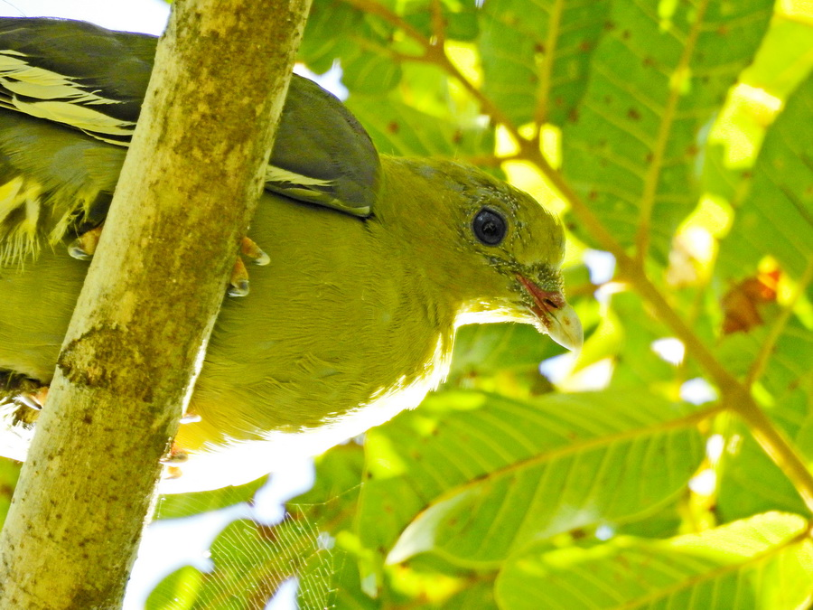 Мадагаскарский зелёный голубь amber mountain Птицы в Amber Mountain National Park на Мадагаскаре FSCN0015