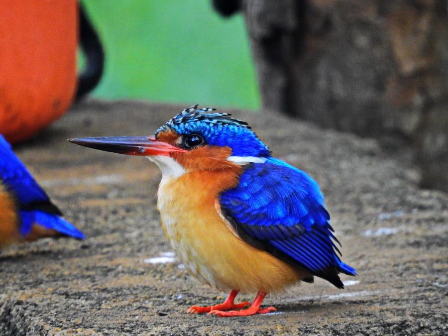 Мадагаскарский зимородок