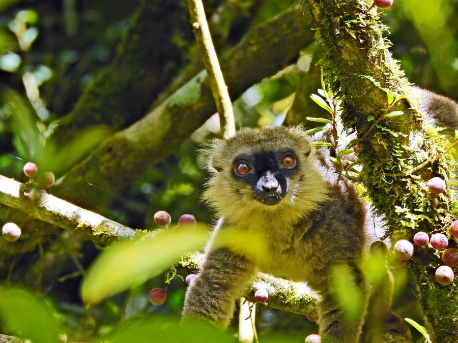 Лемур Санфорда Национальный парк «Янтарная гора» (amber mountain national park) на Мадагаскаре Национальный парк «Янтарная гора» (Amber Mountain National Park) на Мадагаскаре FSCN6185