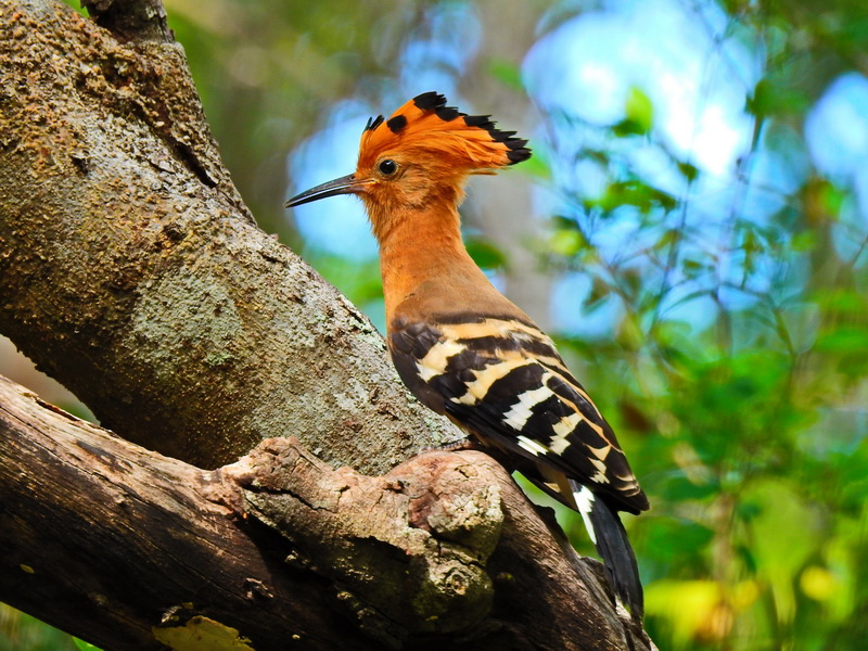 Мадагаскарский удод Бердвочинг в национальном парке Анкарафанцика на Мадагаскаре Бердвочинг в национальном парке Анкарафанцика на Мадагаскаре FSCN6486