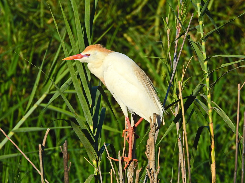 Breeding Plumage of Cattle Egret Бердвочинг в национальном парке Анкарафанцика на Мадагаскаре Бердвочинг в национальном парке Анкарафанцика на Мадагаскаре FSCN6495 1