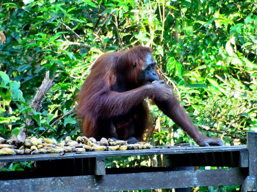 Орангутан Танджунг Путинг Национальный парк Танджунг Путинг (Tanjung Puting) в Индонезии DSC 1016