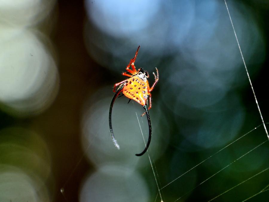 Рогатый паук Танджунг Путинг Национальный парк Танджунг Путинг (Tanjung Puting) в Индонезии DSC 1048