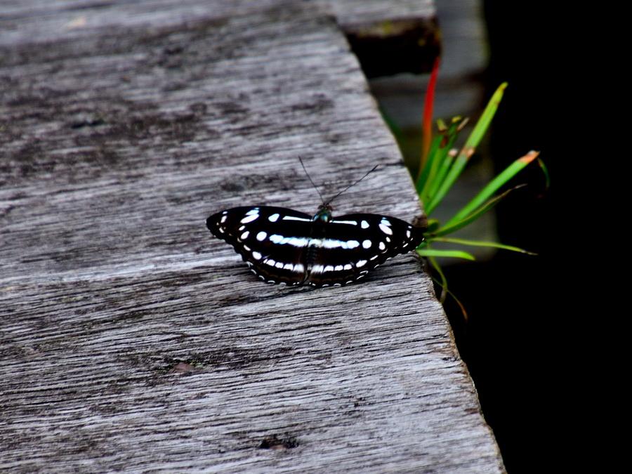 Бабочка Танджунг Путинг Национальный парк Танджунг Путинг (Tanjung Puting) в Индонезии DSC 1160