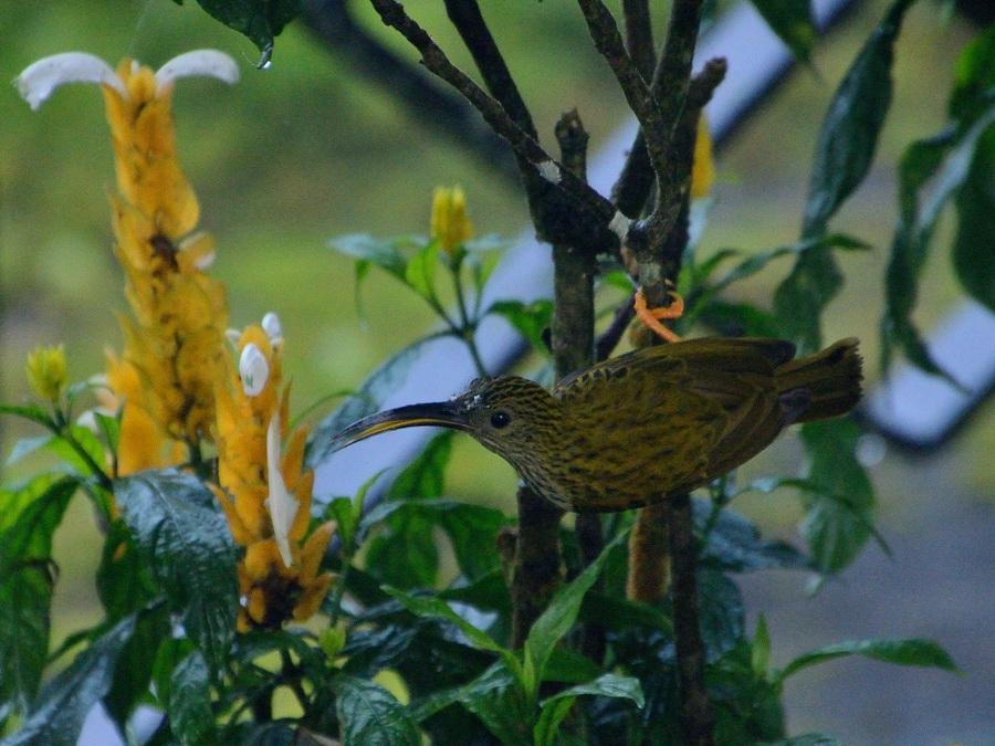 Пестрогрудая нектарница-пауколовка