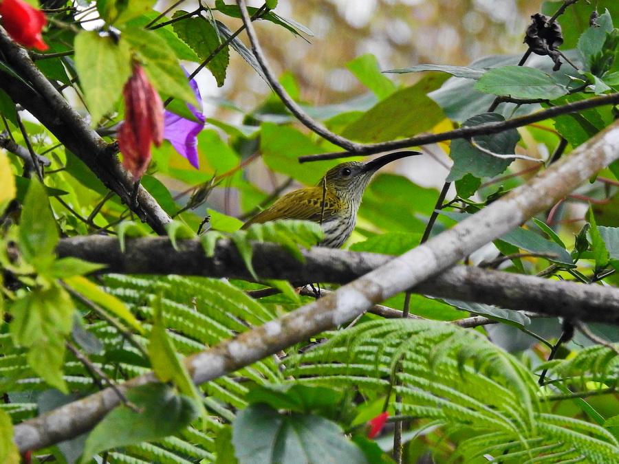 Пестрогрудая нектариница-пауколовка