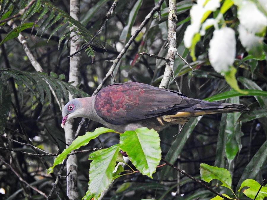 Горный плодоядный голубь