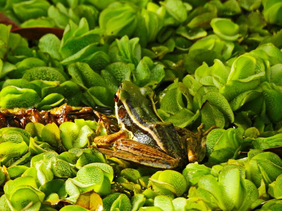 Красноухая лягушка Танджунг Путинг Национальный парк Танджунг Путинг (Tanjung Puting) в Индонезии FSCN8387
