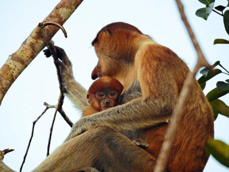 Обезьяна-носач Танджунг Путинг Национальный парк Танджунг Путинг (Tanjung Puting) в Индонезии FSCN8388