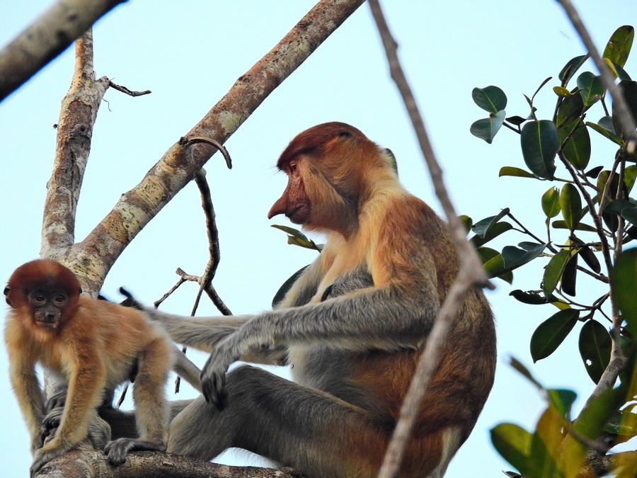 Обезьяна-носач Танджунг Путинг Национальный парк Танджунг Путинг (Tanjung Puting) в Индонезии FSCN8392