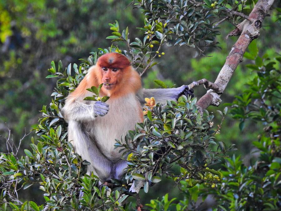 Пробоскис Танджунг Путинг Национальный парк Танджунг Путинг (Tanjung Puting) в Индонезии FSCN8394