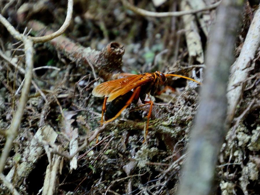 Оса Фрейзер Хилл (fraser's hill) в Малайзии Фрейзер Хилл (Fraser's Hill) в Малайзии DSC 0061