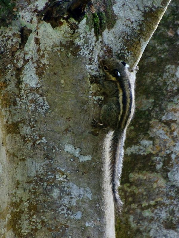 Гималайская полосатая белка