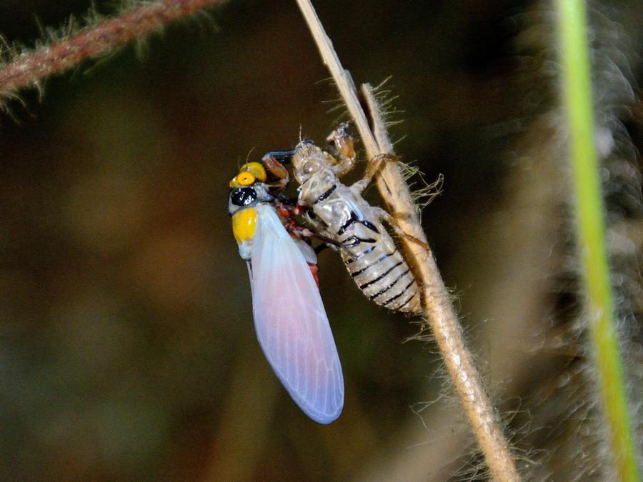 Вылупление цикады
